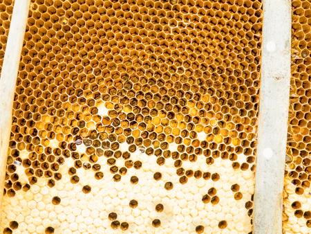 collectives: Close up view of the baby bees on honeycells.