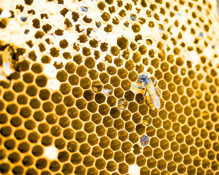 honey cell: close up shot on honey cell and bees in agricultural farm