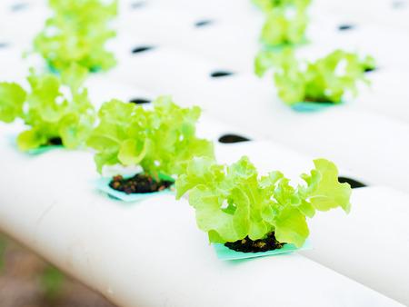 水、土壌で、ミネラルの栄養解決を使用して成長する植物。水耕栽培植物を植えることを閉じる