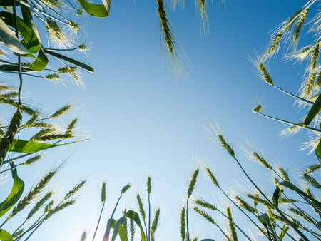 barley seeds: barley seeds in the farm field against blue sky background