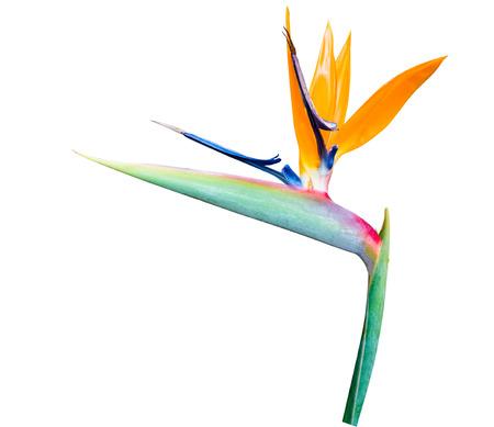 Uccello del paradiso Fiori, fiore tropicale isolato su sfondo bianco