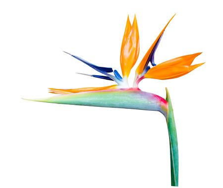 ave del paraiso: Ave del paraíso de las flores, flores tropicales aisladas sobre fondo blanco