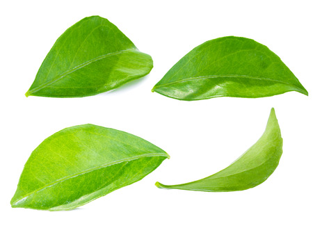 lemon leaf isolated on white background, stacking focus added