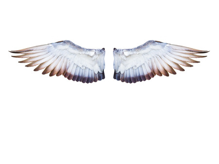expand: flying pigeon bird wing in full expand isolated on white background