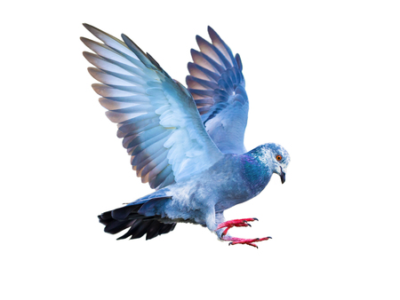 flying pigeon bird in action isolated on white background Stok Fotoğraf