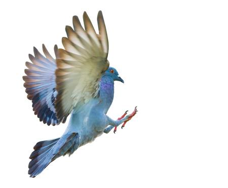 Voler oiseau pigeon dans l'action isolée sur fond blanc Banque d'images - 58671126
