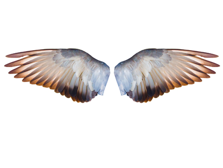 flying pigeon bird wing in full expand isolated on white background