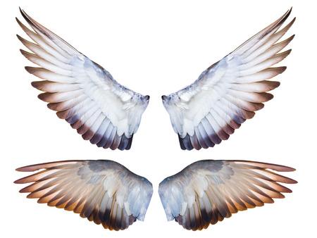fliegende Taube Vogelflügel vollständig isoliert auf weißem Hintergrund expand