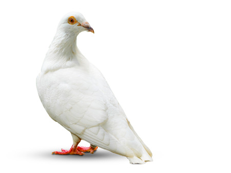 weiße Taube Vogel auf weißem Hintergrund isoliert