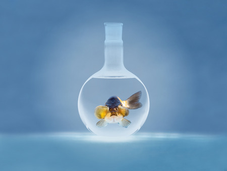 fishtank: beautiful golden fish on bright blue background, people feed then as a pet in aquatic hobby