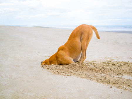 head in the sand: brown domestic dog hides its head in the sand hole, escape from failure concept Stock Photo