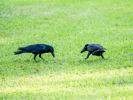 adapting: black crow bird on green grass, it can grow in big city by adapting of natural habitat