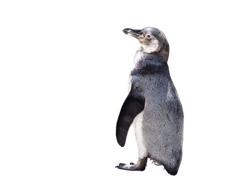 白い背景に分離されたかわいいペンギン 写真素材