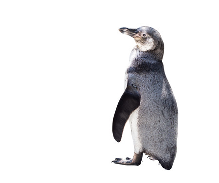 cute penguin isolated on white background