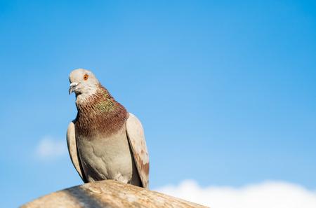 beak pigeon: domestic pigeon bird standing on white sky background