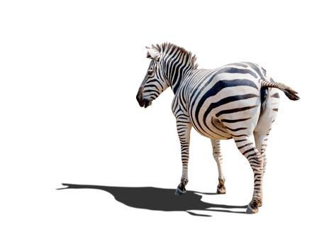 herbivores: Zebra ,the africa wild animal in outdoor savanna, isolated on white