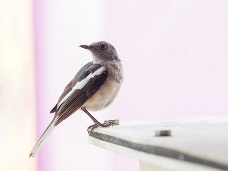 portrait of small single bird on building, animal wildlife adapt their life to survive in the city nearby human activity.