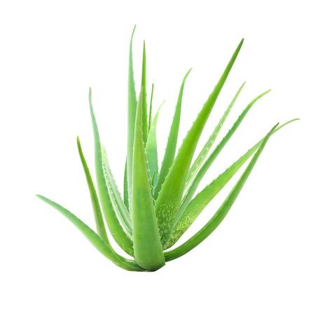 aloe vera isolated on white background, focus stack added Stock Photo