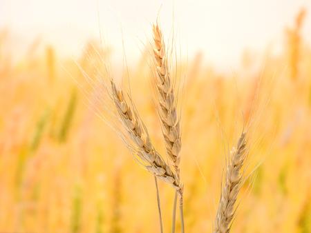 熟した小麦とぼかしの背景、野菜栄養成分の概念とダイエットのためにわらの詳細。 写真素材