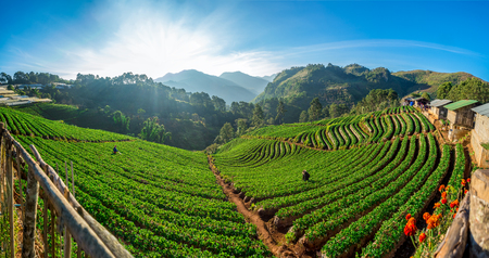 panoramic view of beautiful rows of strawberry plant, farming in the high mountain hills in the morning with wonderful breathtaking sunshine. Stok Fotoğraf
