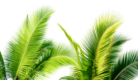 green cocount leaf of  palm tree isolated on white background