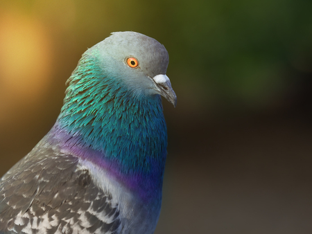 grey domestic pigeon bird in city park