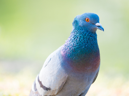 close up shot on pigeon , bird of peace, on the park of big city Stok Fotoğraf