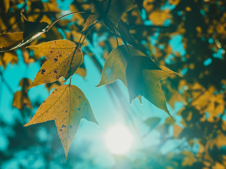 yellow red maple leaves in seasonal outdoor nature, falling leaf Stok Fotoğraf