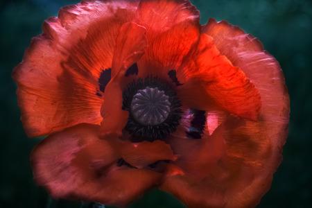Red poppy closeup on dark background