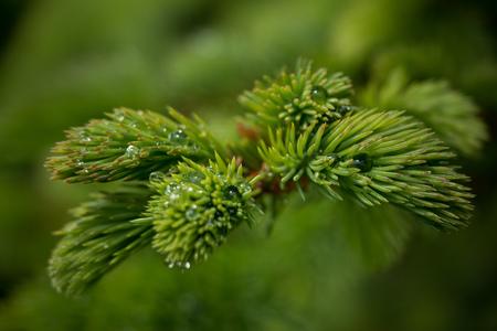 pine tree branch with cones 版權商用圖片