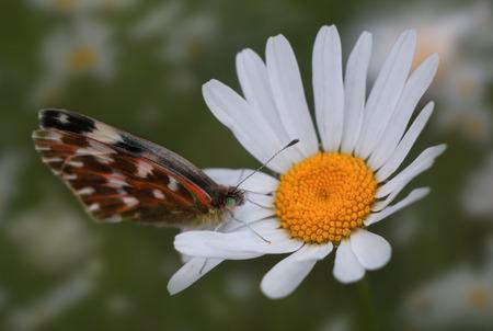 butterfly on chamomile 版權商用圖片