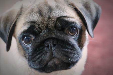 portrait of a cute pug 版權商用圖片