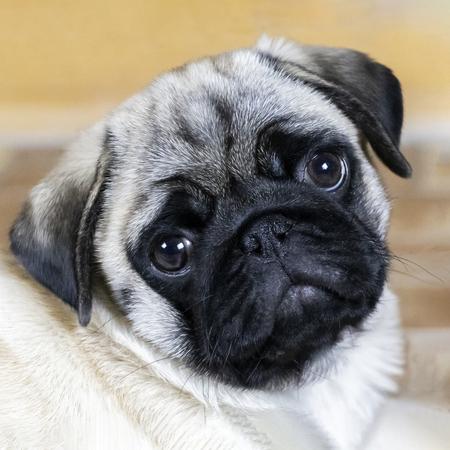 Pug puppy attentively looks 版權商用圖片