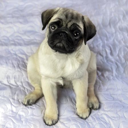pug puppy sitting on a blanket 版權商用圖片