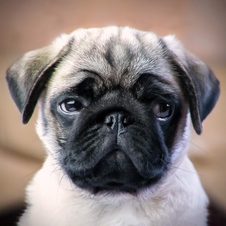 Pug puppy offended 版權商用圖片