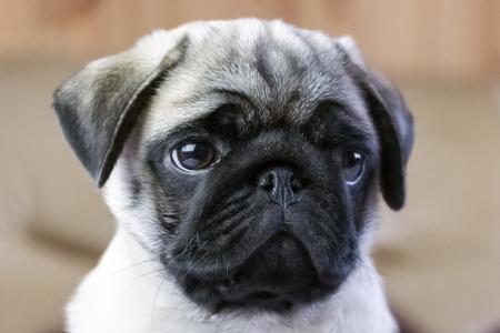 cute pug puppy sad looking away portrait