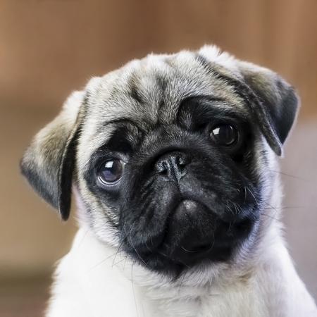 Pug puppy close up background. 版權商用圖片