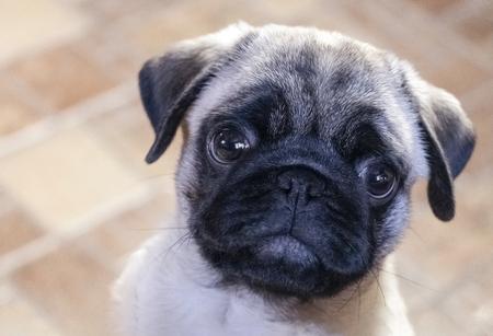 little pug looks up eyes muzzle close up