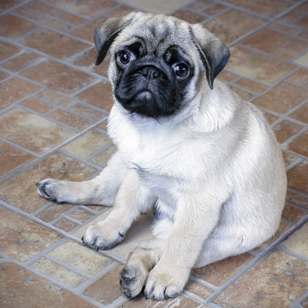 cute little pug puppy sitting on the floor 版權商用圖片