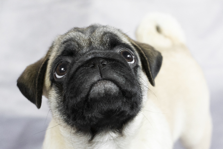 funny little pug looks curiously