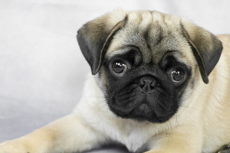 cute pug puppy on a light background close up 写真素材