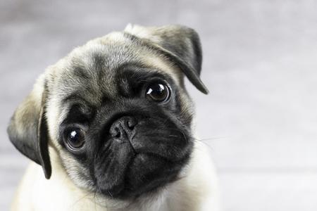 portrait of a pug puppy, cute funny face close up 版權商用圖片