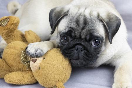 Cachorro de pug divertido jugando con un juguete suave, close-up Foto de archivo