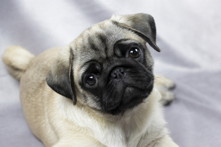 Pug puppy playfully looks at you, portrait 版權商用圖片
