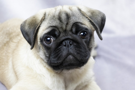 Pug puppy attentively looks at you, portrait 版權商用圖片