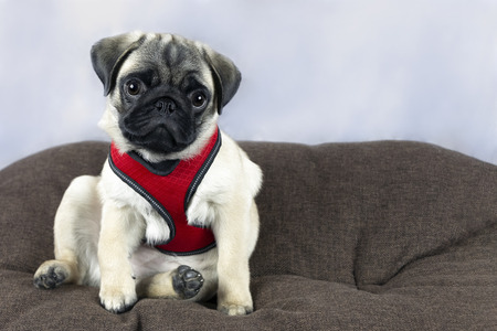 Pug puppy in a red harness sits on a brown pillow