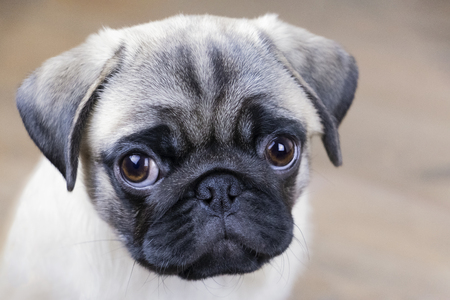 Portrait of an attentive puppy pug face close up