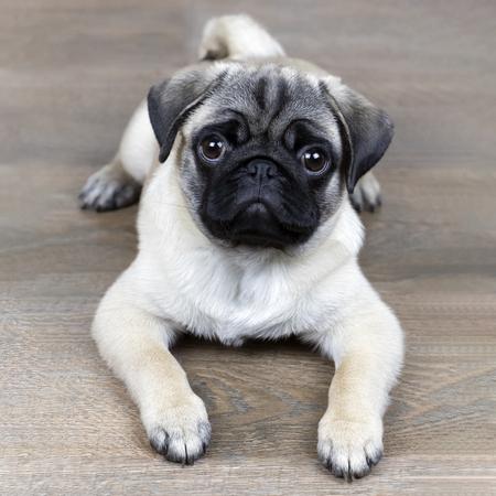 a pug puppy 版權商用圖片
