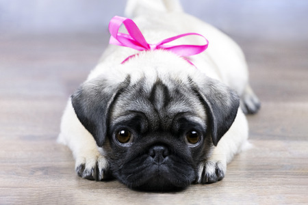 pug puppy 版權商用圖片