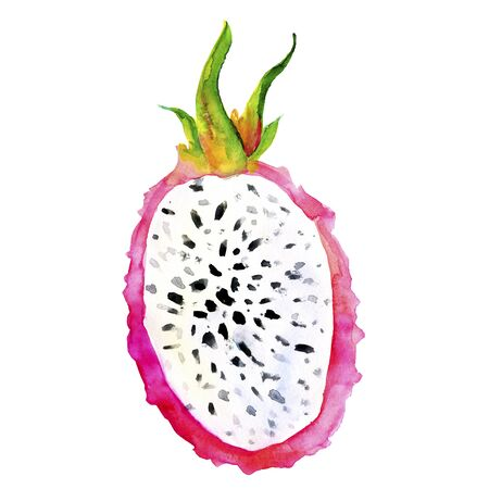 Hand drawn watercolor illustrations of dragon fruits pitaya isolated. Pitahaya sketch. Summer food illustration, tropical fruit. Healthy life style painting. Hand drawn clip art. 写真素材